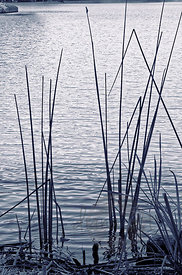Reeds-in-Water2