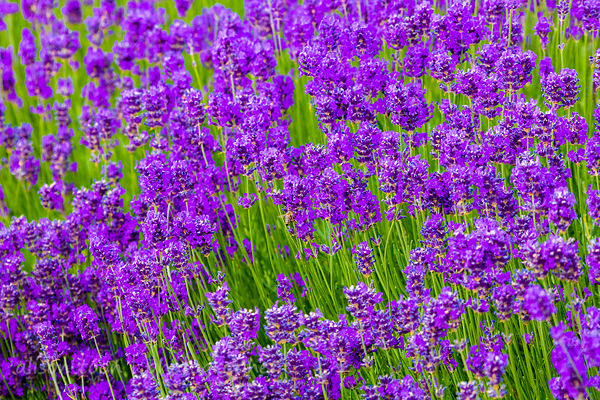 Lavender, lavender photos