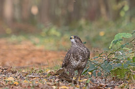Common Buzzard Buteo buteo feeding on pheasant in woodland Norfolk autumn