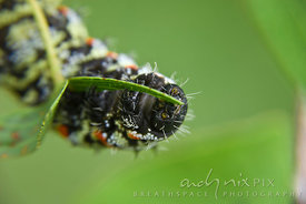 A close-up view of a mopane worm (Imbrassia belina) eating the leaves of a mopane tree (Colophospermum mopane).