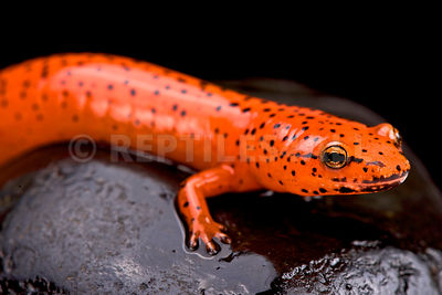 Red salamander (Pseudotriton ruber)  photos