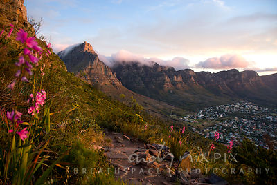 Table Mountain and the Twelve Apostles above Camps Bay, viewed from Lion's Head with watsonias along a path