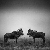 6750-Wildebeests_Kenya_2013_Laurent_Baheux