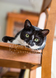 black and white cat in chair looking at camera