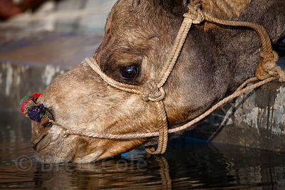 A camel drinks from a trough in Pushkar, Rajasthan, India
