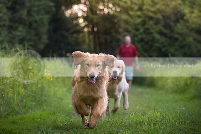two golden dogs running together chasing in park grass with owner