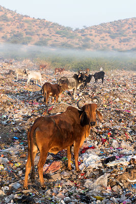 Cows grazing on a field of plastic bags at the Pushkar municipal dumping ground (landfill), Pushkar, Rajasthan, India. Landfills like this are so free of metal glass (since it's all been picket out to be recycled) that you can walk barefoot.