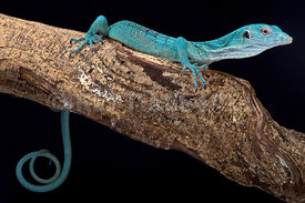 Emerald tree monitor, Varanus prasinus