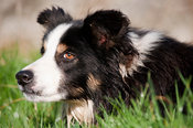 Border Collie Sheepdog watching sheep