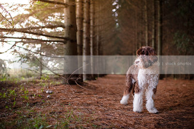 brown and white scruffy dog standing in pine forest