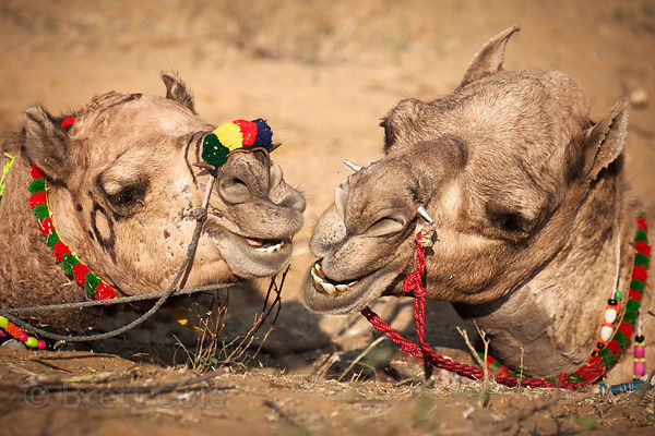 Pushkar Camel Fair photos