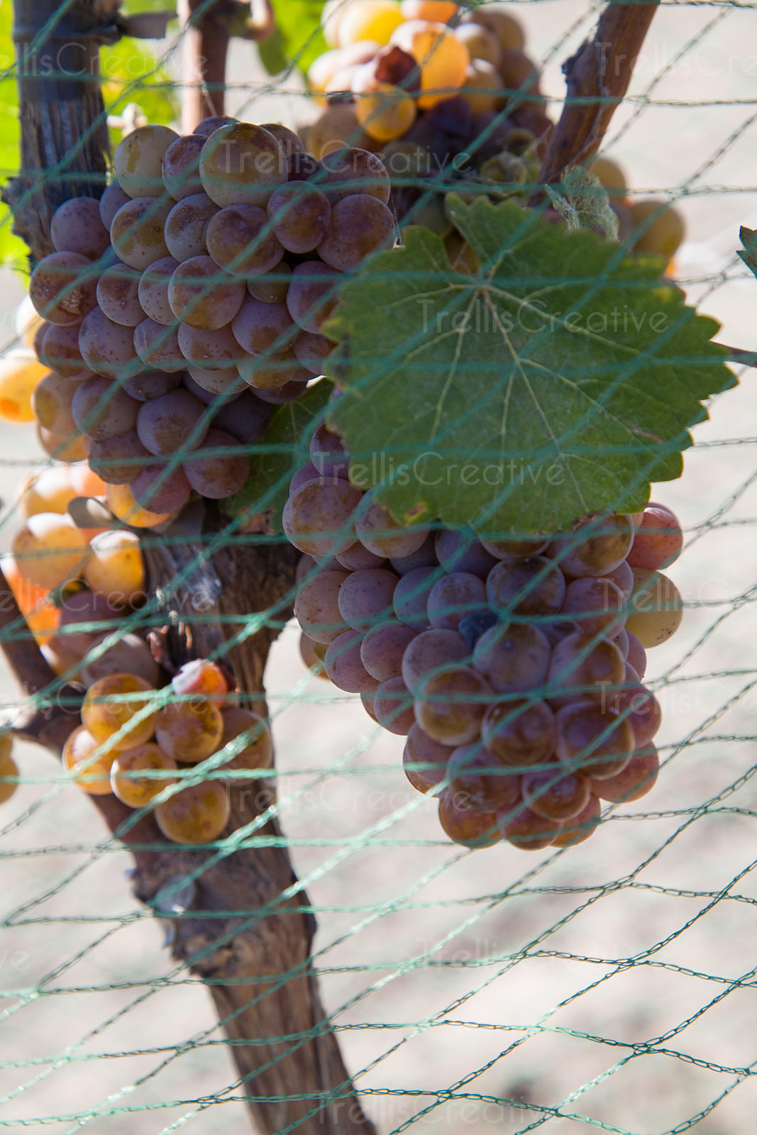 Bird netting protects ripe pinot grigio grape clusters