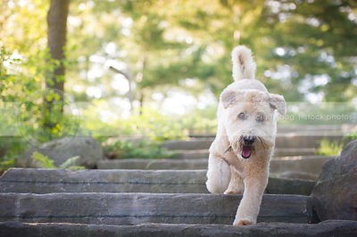 blond soft coated wheaten dog on stone steps