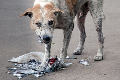 A street dog devours a live pigeon in Udaipur, Rajasthan, India