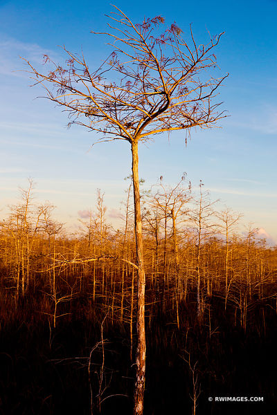 DWARF CYPRESS EVERGLADES NATIONAL PARK FLORIDA VERTICAL COLOR