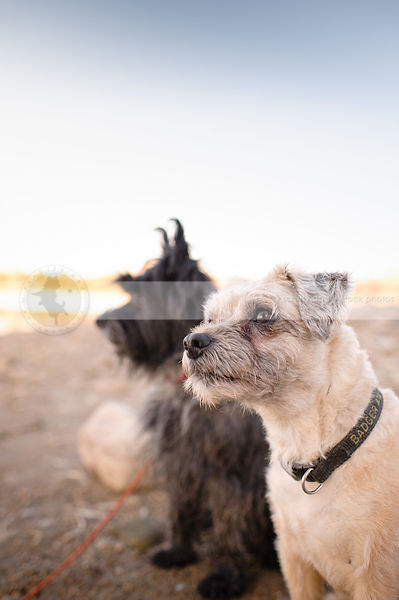 two little terrier dogs sitting together on beach