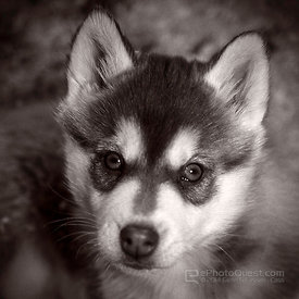 Bright-Eyed Husky Puppy