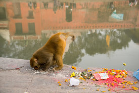 A monkey at Pashupatinath Temple on the banks of the Bagmati River in Kathmandu, Nepal.