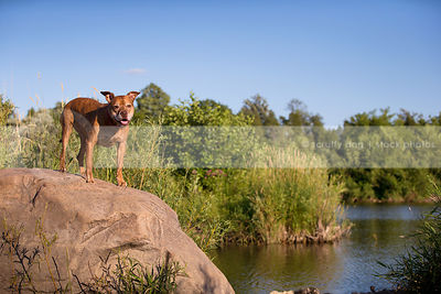 red pitbull dog perched on boulder on riverbank with reeds