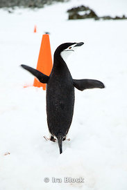 A chinstrap penguin found at the Antarctic Peninsula.