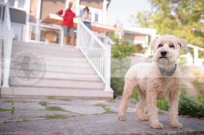 blond dog standing on steps at cottage with owners
