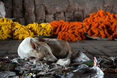 A stray dog sleeps in front of flower garlands at the Howrah Flower Market, reputed to be the largest flower market in Asia. Kolkata, India.