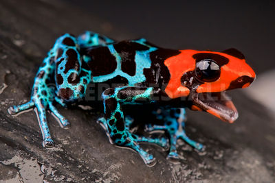 Blessed poison frog / Ranitomeya benedicta photos