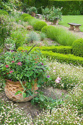 The terrace at Cothay Manor, Somerset covered with self seeded Mexican daisy, Erigeron karvinskianus, filling part of a box-edged knot garden. Planter contains Salvia elegans, sweet peas, verbenas and purple sage