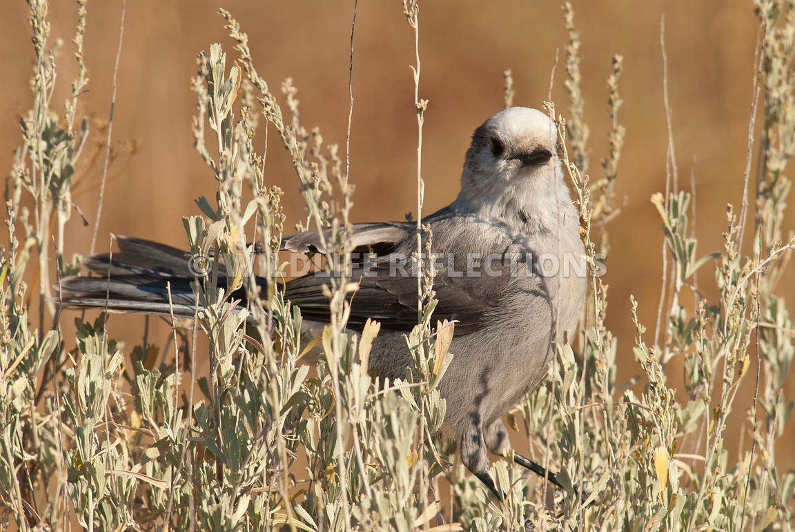 gray_jay_in_sagebrush