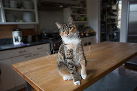 Tabby Cat Sitting On Counter in Kitchen