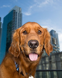 Close-up Portrait of Golden Retriver in Front of Tall Buildings
