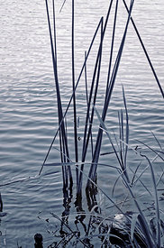 Reeds-in-Water1
