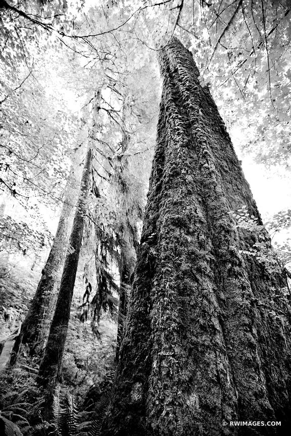 MOSS COVERED TREE HOH RAINFOREST OLYMPIC NATIONAL PARK WASHINGTON BLACK AND WHITE VERTICAL