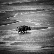 9532-Buffalo_in_the_river_South_Africa_2008_Laurent_Baheux