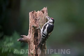 Great spotted Woodpecker Dendrocopos major juvenile in woodland North Norfolk August