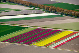 Flowering tulip fields in the North-East polder in the center of the Netherlands