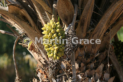 Fruits of Bocaiúva (Macauba) palm (Acrocomia aculeata), that are the favourite food of Hyacinth or Hyacinthine Macaws (Anodorhynchus hyacinthinus), North Pantanal, Mato Grosso, Brazil