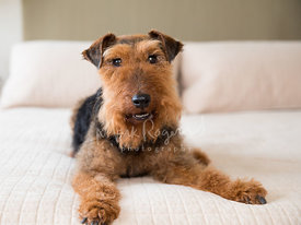 Welsh Terrier Lying on bed looking toward camera while smiling