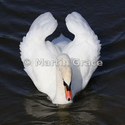 Male (Cob) Mute Swan (Cygnus olor) displaying as he approaches, Mansfield, Nottinghamshire, March 14