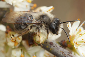 Andrena vaga at Kanaalbermen Bellem ( Driehoek ) 5 april 2015