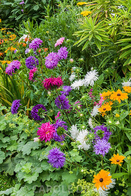 Annual Aster 'Ostrich Plume Mixed' with Rudbeckia 'Marmalade' in ornamental border edged with Alchemilla mollis. The Shute, nr Ventnor, Isle of Wight, UK