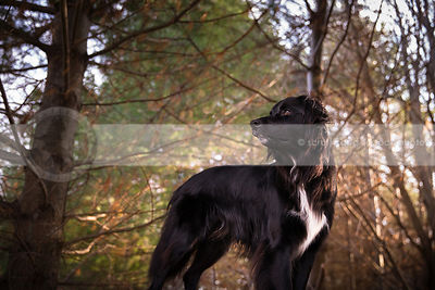 portrait of serious longhaired dog standing in forest