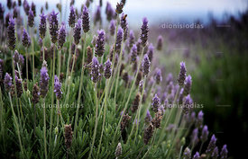 Field of Lavender Flower.