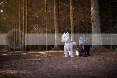 two small dogs standing together in pine forest