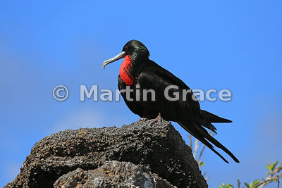 Great Frigatebird male (Fregata minor ridgwayi), Darwin Beach, Genovesa, Galapagos Islands