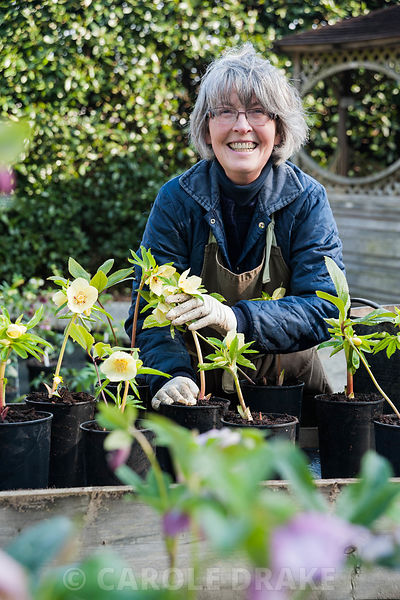 Wendy Perry with some of her own strains of Helleborus x hybridus in the sales area. Bosvigo, Truro, Cornwall, UK