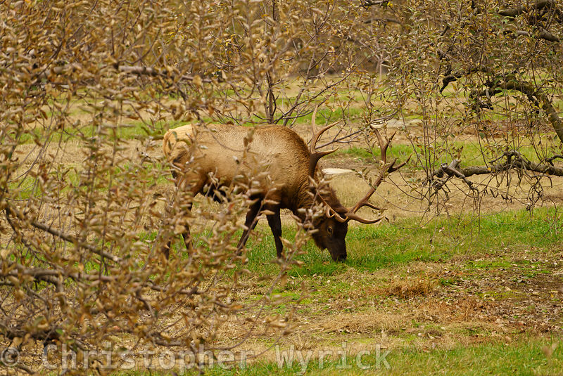 Beautiful shot of Elk feeding near the national park in Cosby, Tennessee.