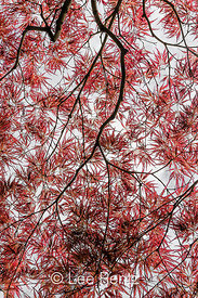 Lacy Leaves of a Japanese Maple in Seattle's Japanese Garden