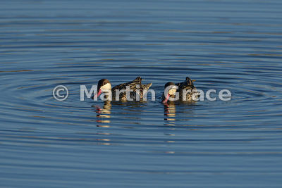 Red-Billed Teal (Anas erythrorhyncha), Etosha, Namibia