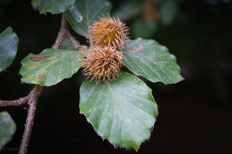 Hazel nuts on the tree
